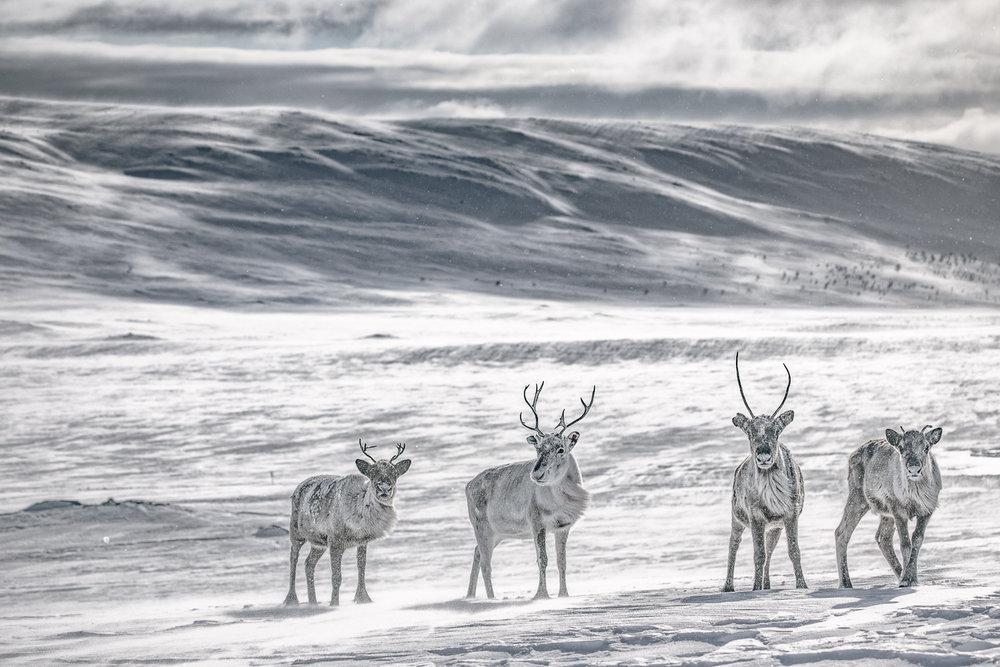 reindeers_lapland_winter-16.jpg