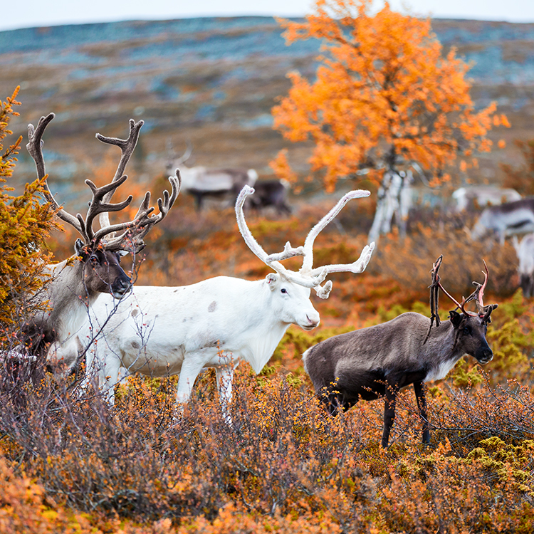 Autumn_reindeer_muonio