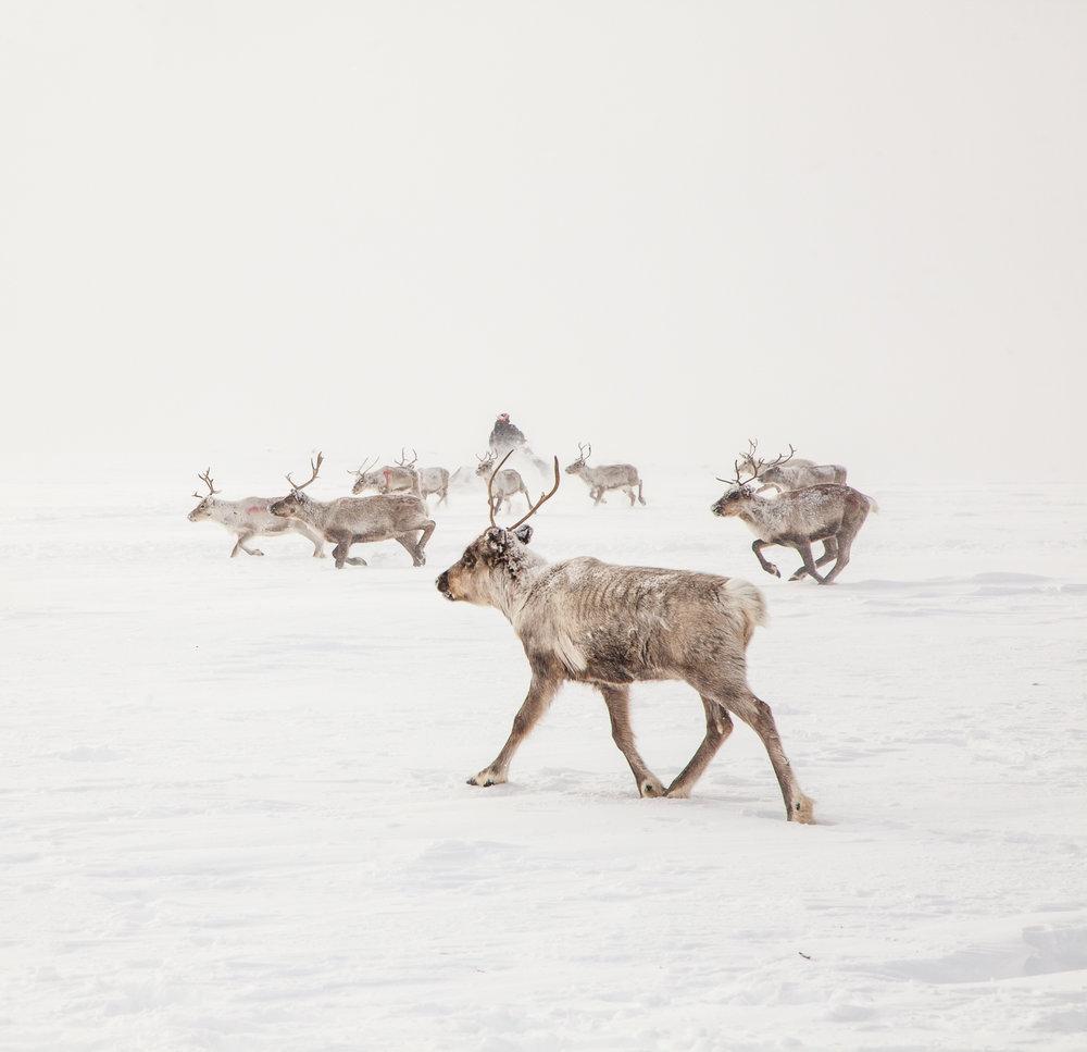 Kilpisjarvi_reindeer