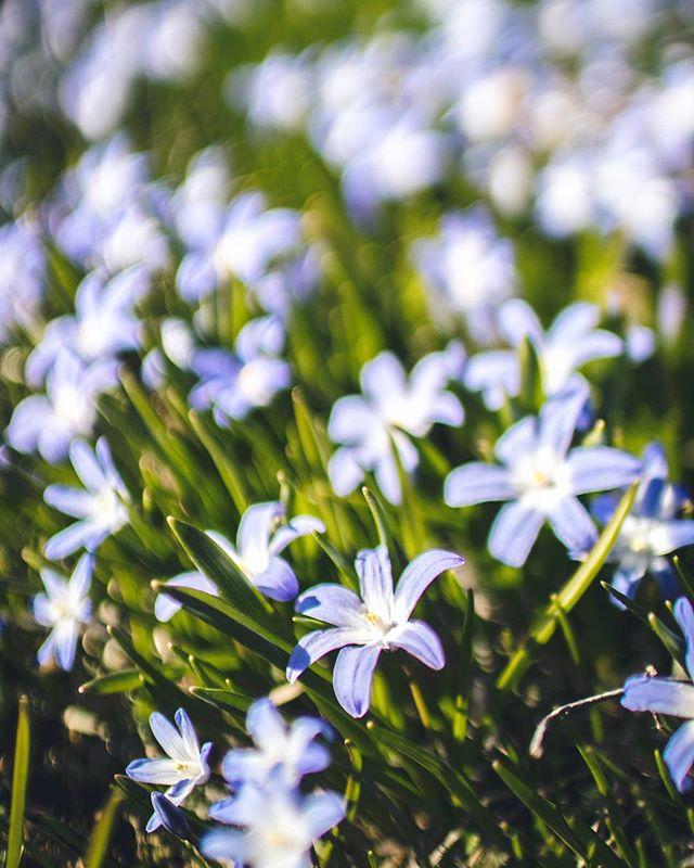 Otsolahdessa kukkii jo 🌸 Kevät on täällä - Spring is here!😍 . #kevät #spring #otsolahti #cafeotsolahti #tapiola #visitespoo