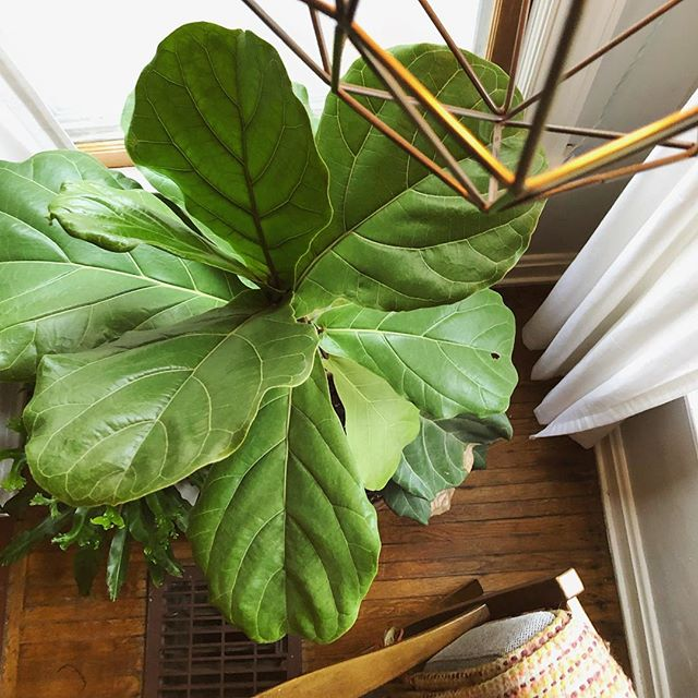 True or false– The fiddle leaf fig was named after the fiddle instrument. One thing's for sure it makes a bold statement in any home #plantpeople