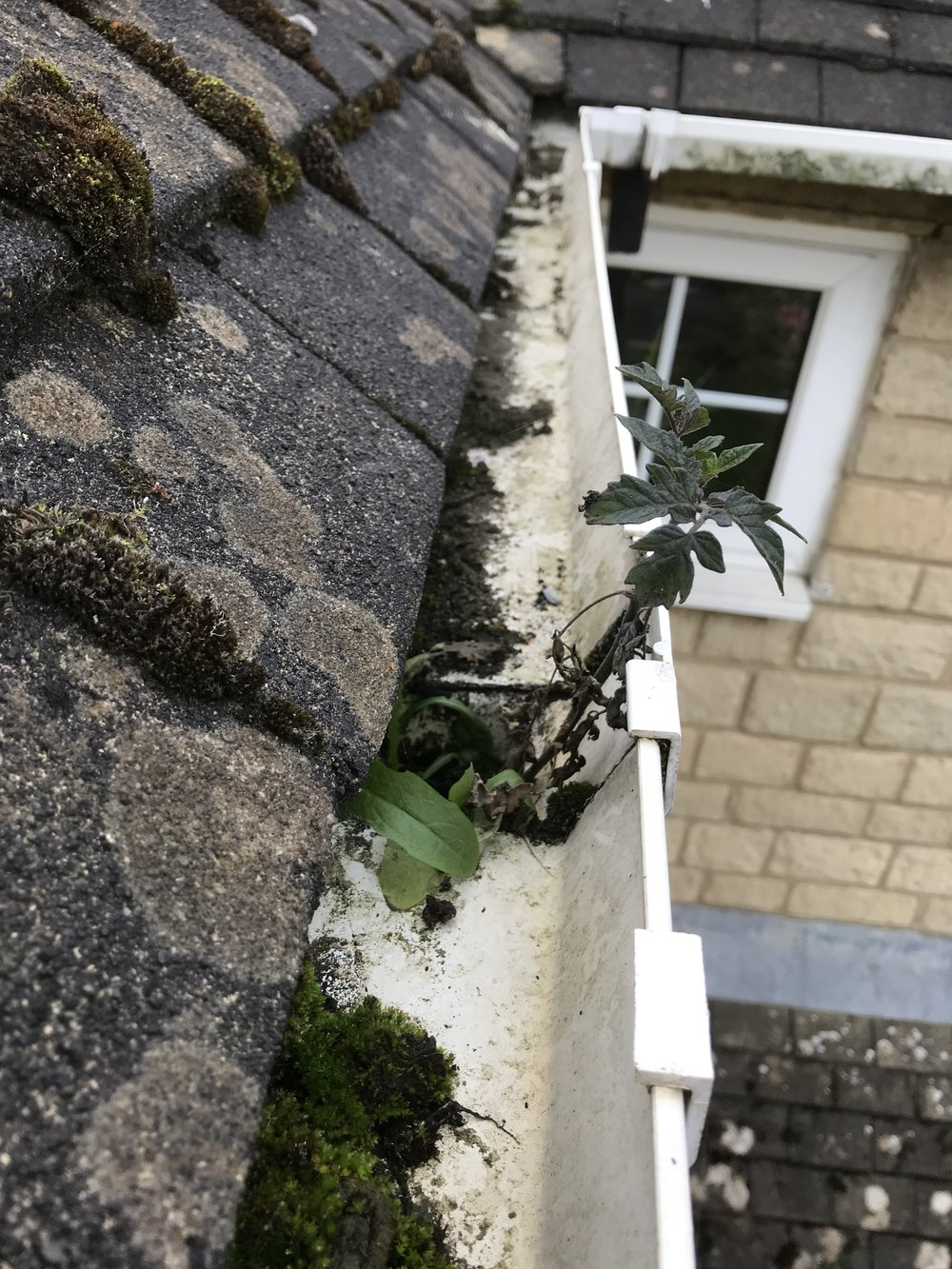Weeds growing from blocked downpipe