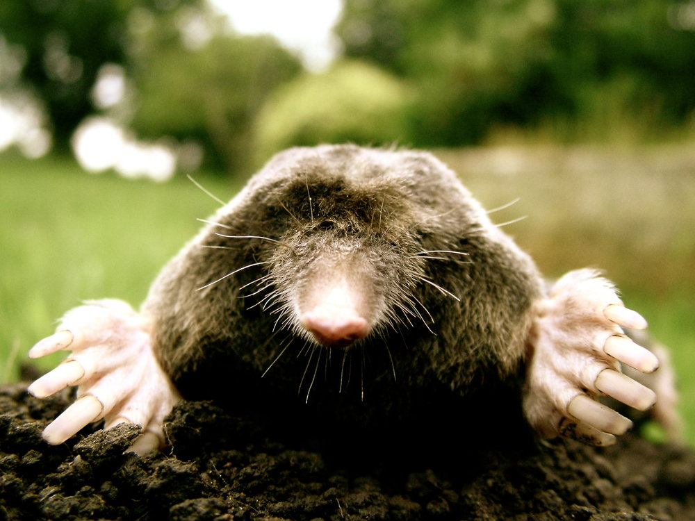 close-up_of_mole.jpg