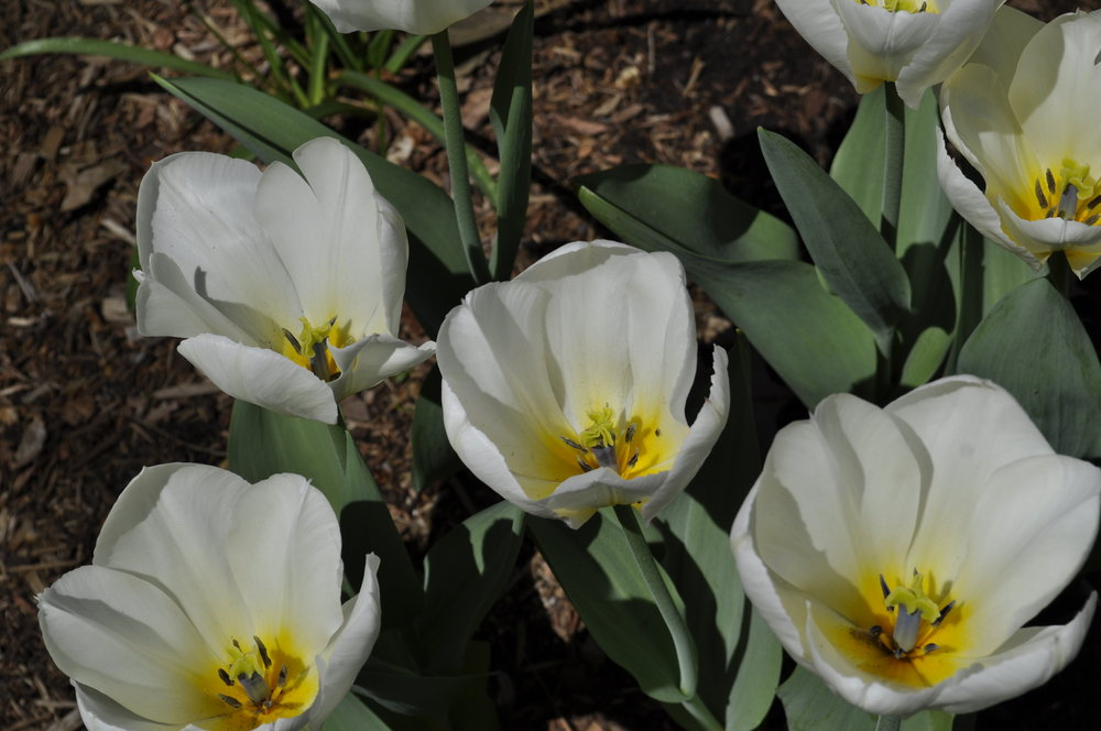 Spring Bulbs - Landscape Design