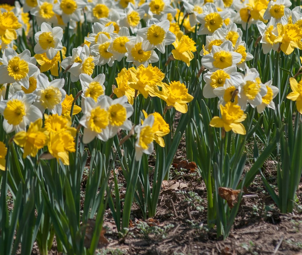 Daffodil_Blend.jpg