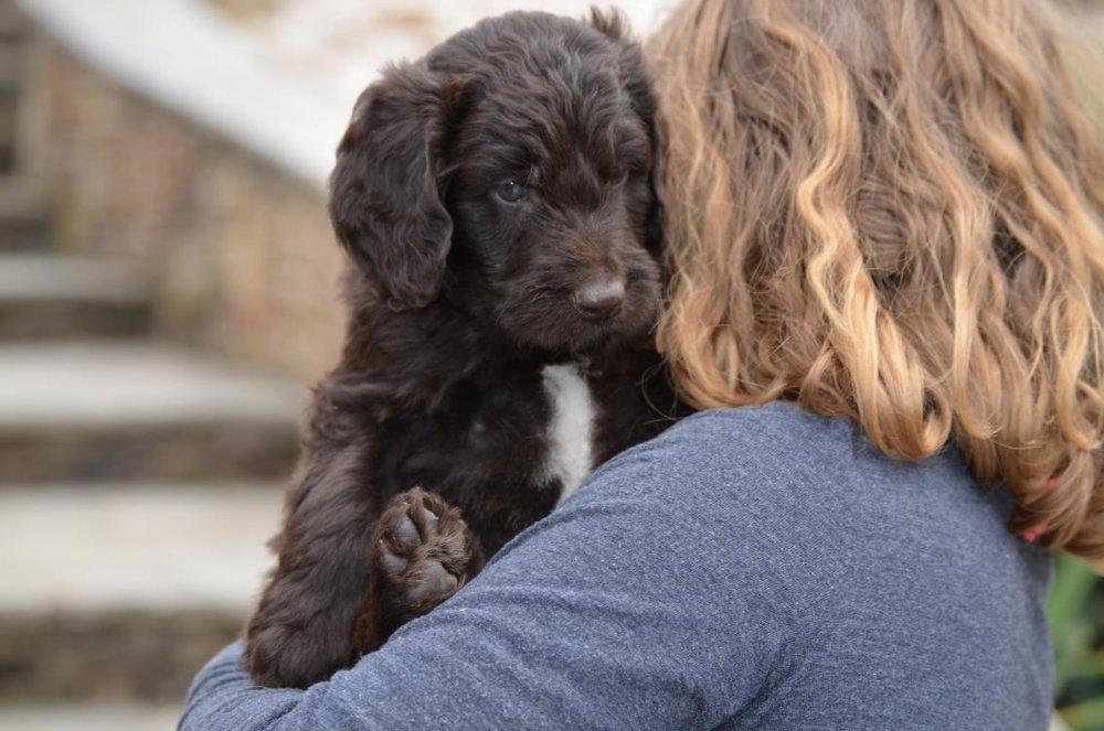 Newfypoo-puppy (7).jpeg