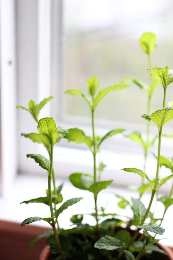 plant tour - mint