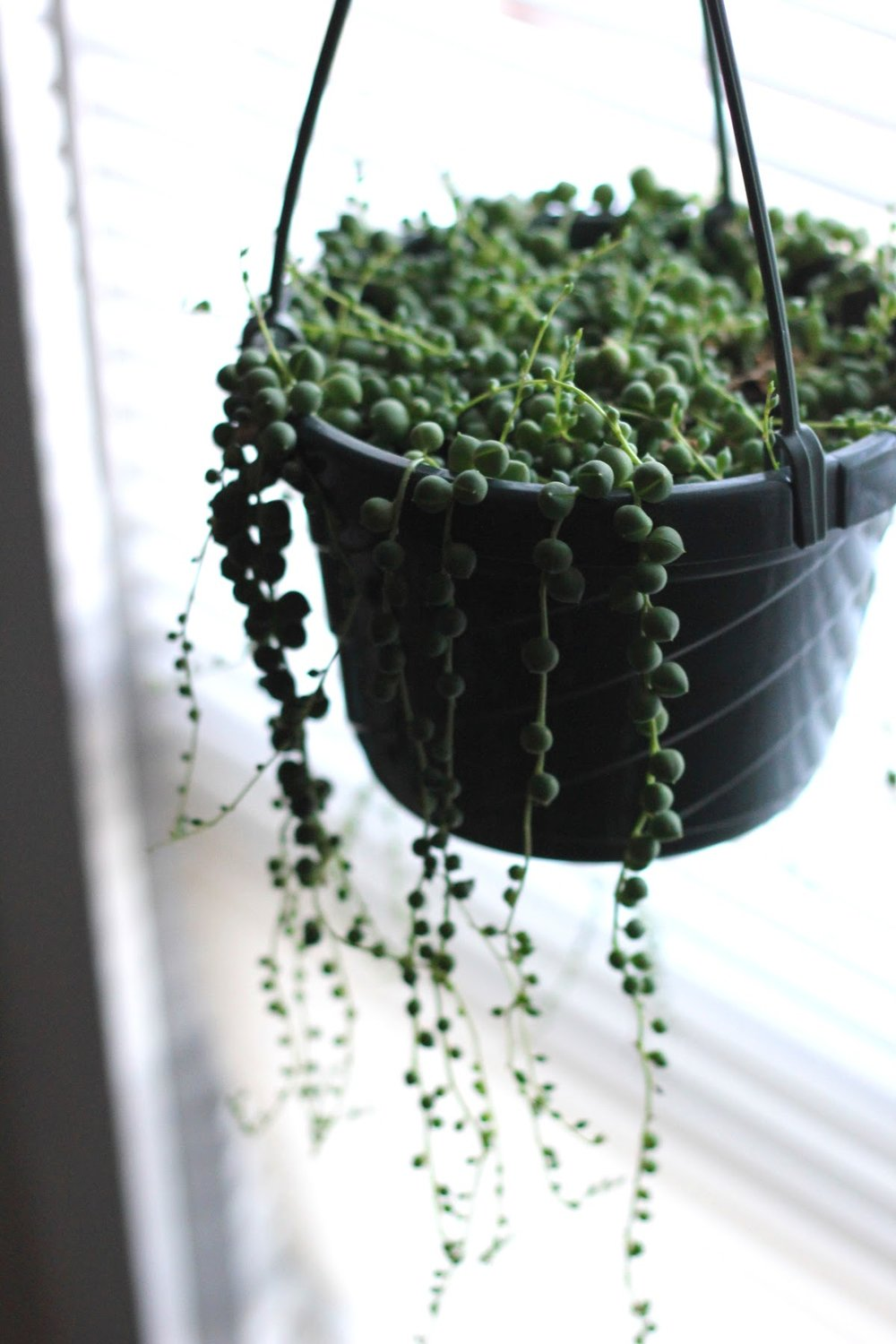 At Home - string of pearls plant