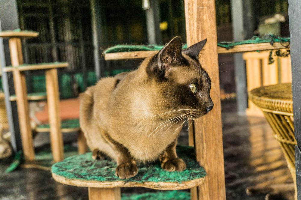 Burmese Cat Sanctuary of Inle Lake