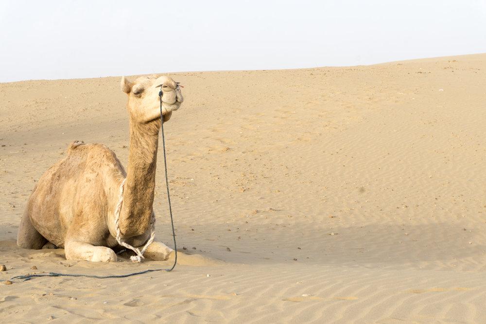 Meet our camel friend - Sandeep