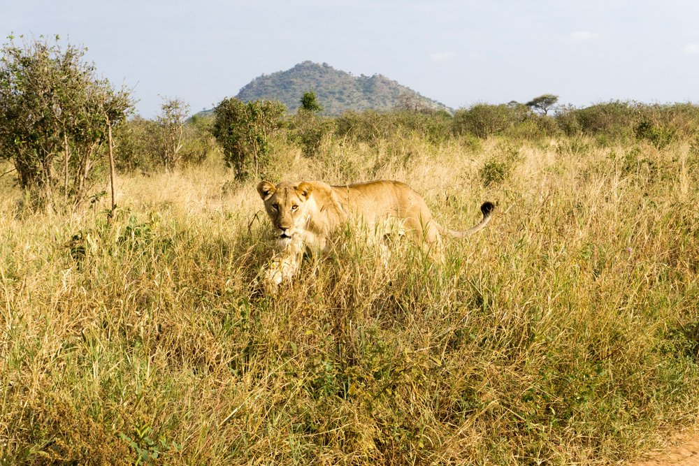 Our first lion sighting - she was majestic.