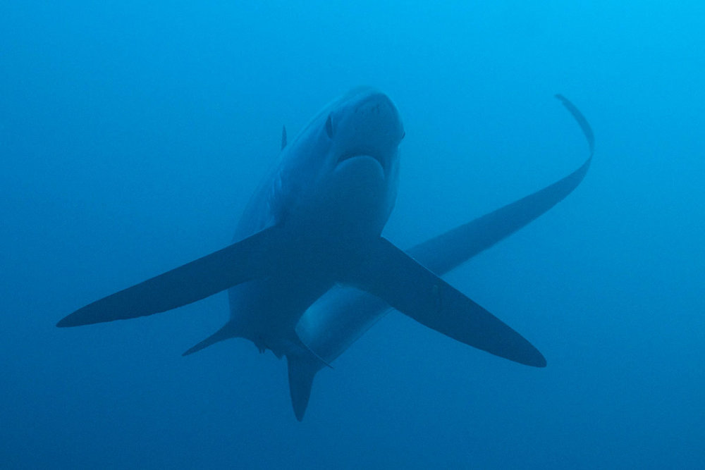 PHL_Malapascua-UW-Thresher-Sharks-©13-Thomas-Baechtold-2270a.jpg