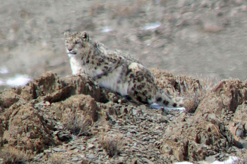 IND_Snow-Leopard-Amit-Sankhala-004_800.jpg