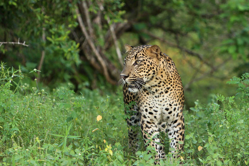 LKA_Leopard-©-Sri-Lanka-Instyle-(1)_800.jpg