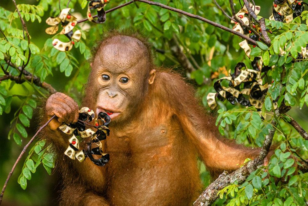MYS_Borneo-Baby-Orangutan_Adobe-Stock_135241915.jpg