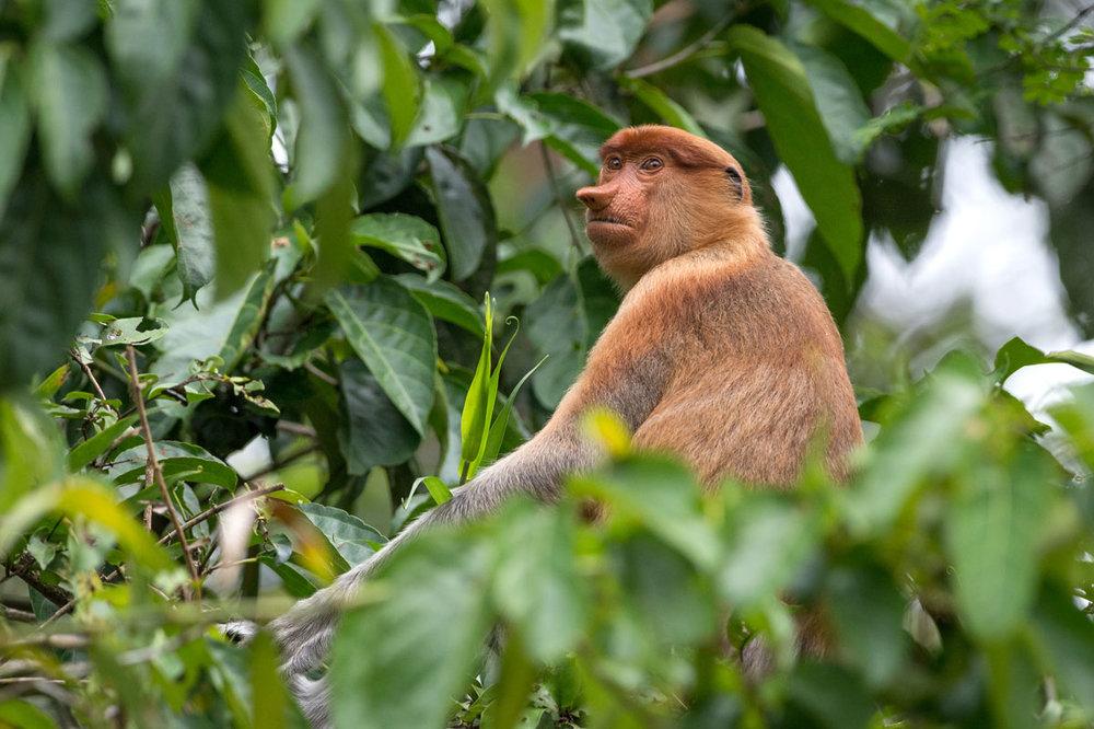 MYS_Borneo-Proboscis-Monkey_Adobe-Stock_132043069.jpg
