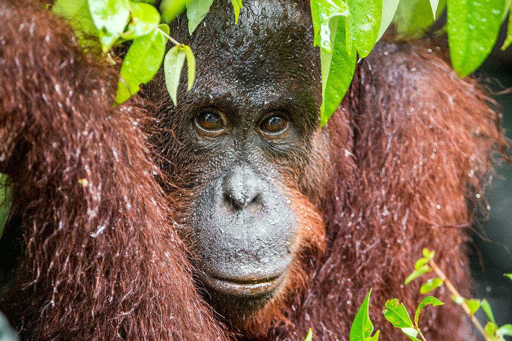 MYS_Borneo-Orangutan-©-Adobe-Stock-006.jpg
