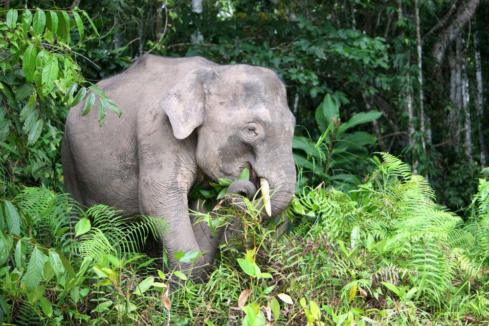 MYS_Borneo-Pygmy-Elephant_Adobe-Stock_131434970.jpg