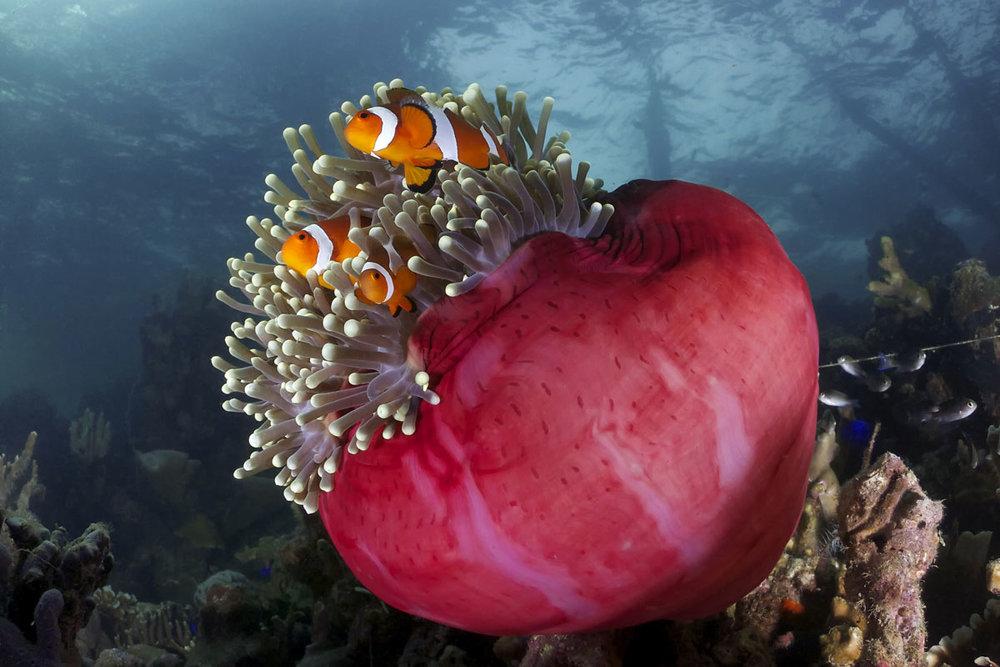 MYS_Borneo-UW-Anemone-©-Adobe-Stock_73186013.jpg