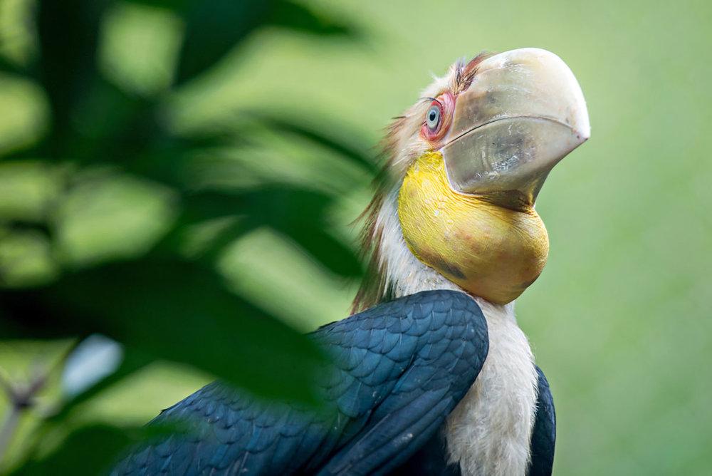 MYS_Borneo-Wreathed-Hornbill-©-Adobe-Stock-003.jpg