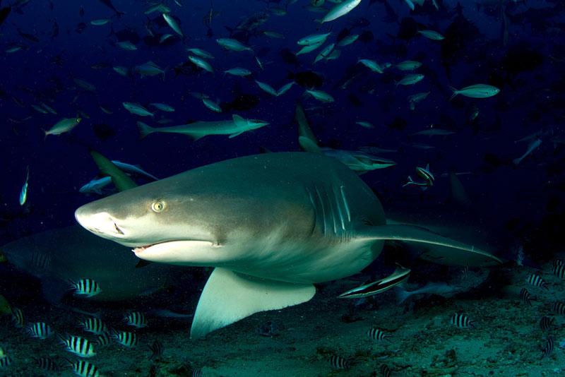 FJI_Beqa-Sharks-©11-Thomas-Baechtold-0265.jpg