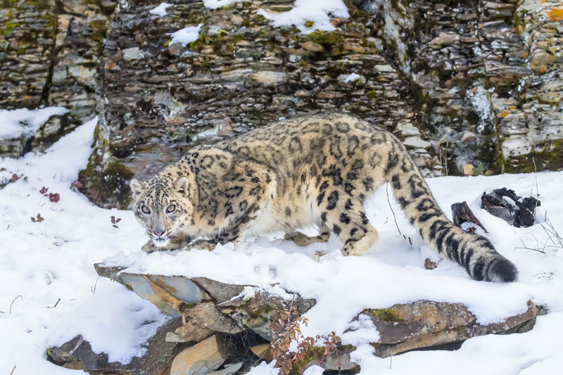 IND_Himalayas-Snow-Leopard-©-Adobe-Stock-001.jpg