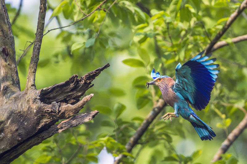 IND_Kahna-Indian-Roller-©-Adobe-Stock.jpg