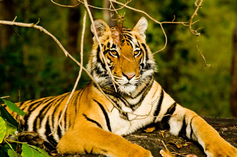 IND_Indian-National-Parks-Tiger-©-Amit-Sankhala-010.jpg