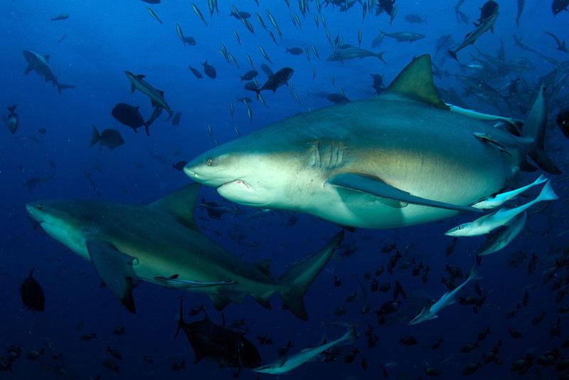 FJI_Beqa-UW-Shark-Dive-©-Thomas-Baechtold-006.jpg
