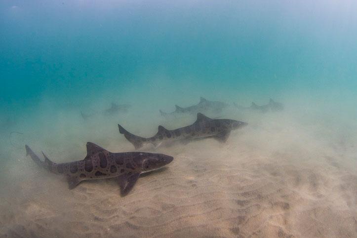 USA_La-Jolla-Leopard-Sharks-©-Kyle-McBurnie-02.jpg