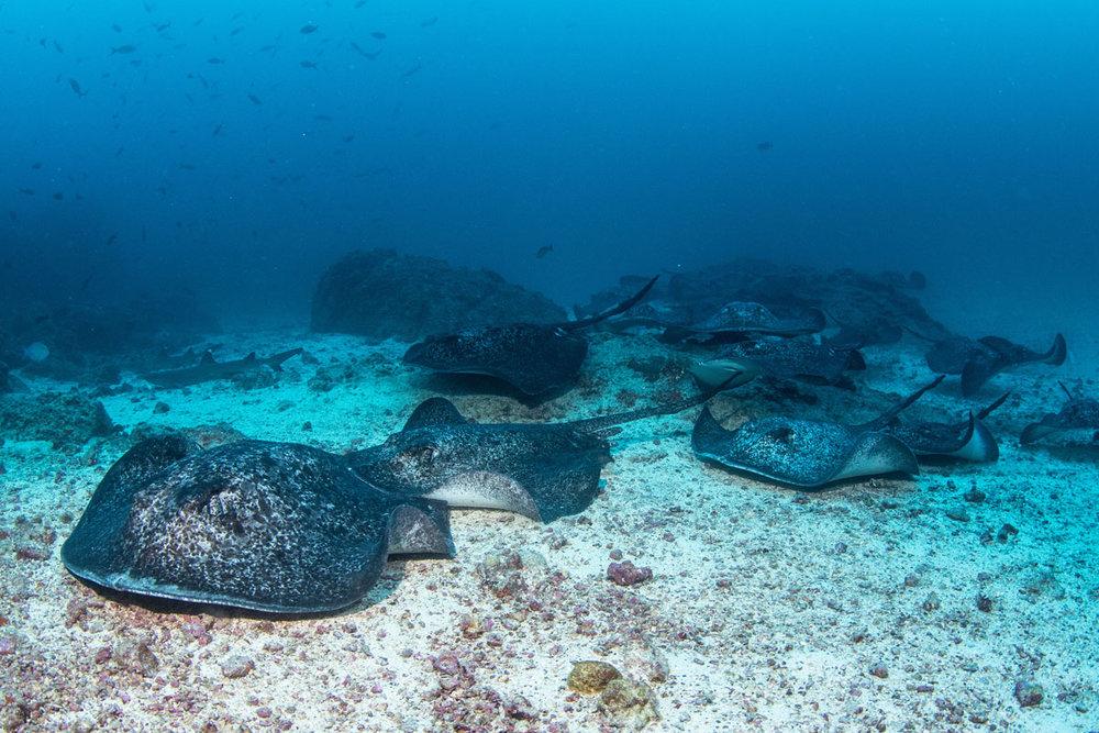 CRI_Cocos-Island-Underwater-©-Avi-Klapfer-JP7A3573.jpg
