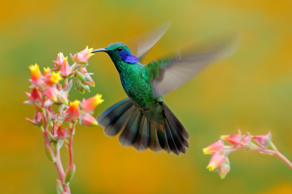 CRI_Costa-Rica-Hummingbird-Green-Violet-ear-Colibrithalassinus-©-Adobe-Stock.jpg