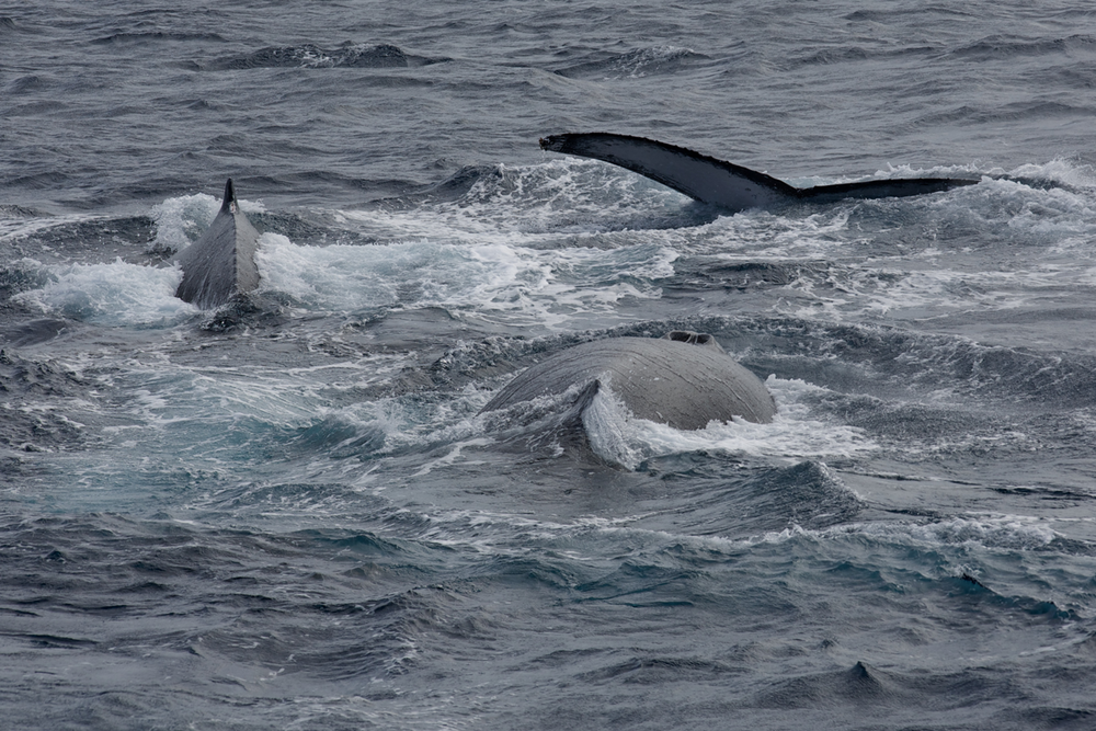 TON_Humpback-whales-above-©14-Thomas-Baechtold-1339.png