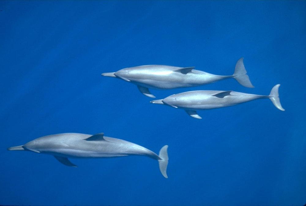 TON_Spinner-dolphins-©-Rob-Barrel-1.jpg