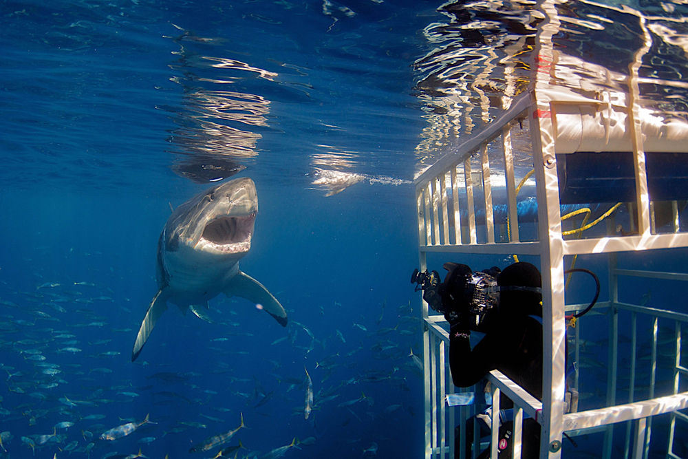 MEX_Guadelupe-UW-Cage-Diving-Great-Whites-©-Solmar-V-007.png