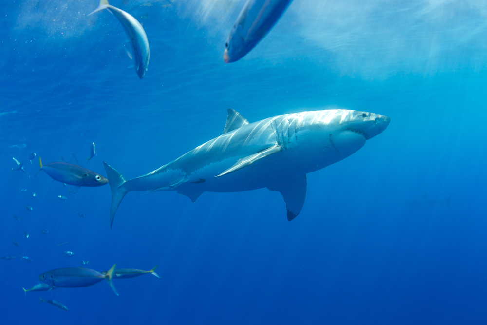 MEX_Guadelupe-UW-Great-White-Sharks-©13-Thomas-Baechtold-241.png