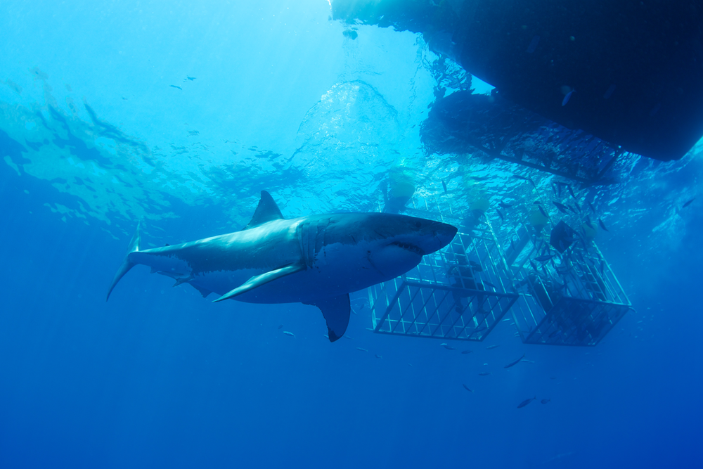 MEX_Guadelupe-UW-Great-White-Sharks-©13-Thomas-Baechtold-423.png