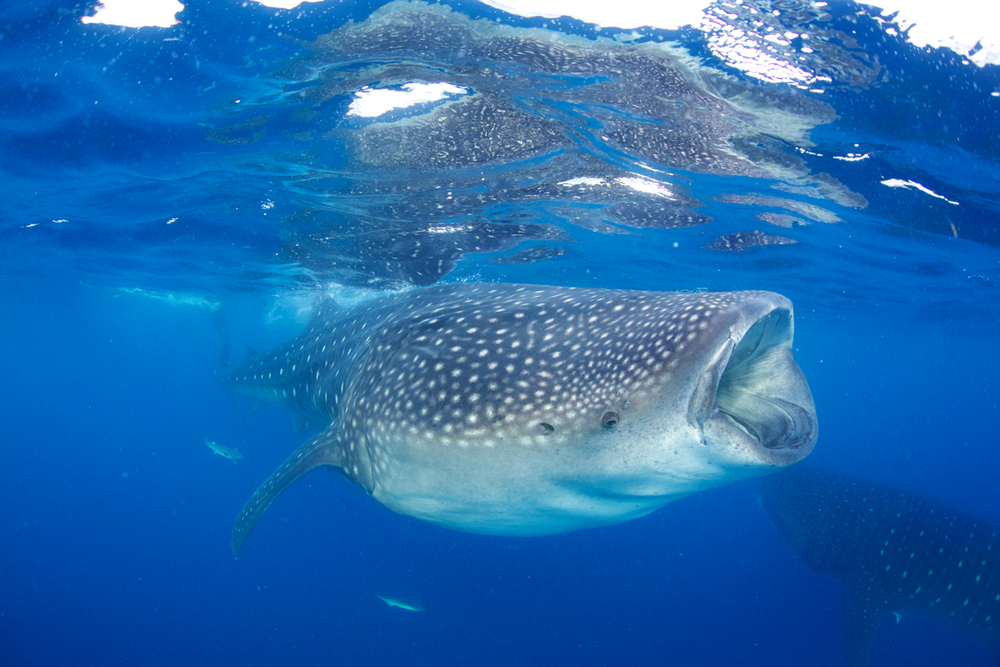 MEX_Isla-Mujeres-UW-Whale-Sharks-©13-Thomas-Baechtold-33.png