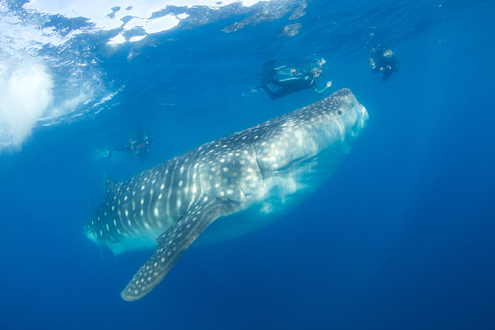 MEX_Isla-Mujeres-UW-Whale-Sharks-©13-Thomas-Baechtold-216.png