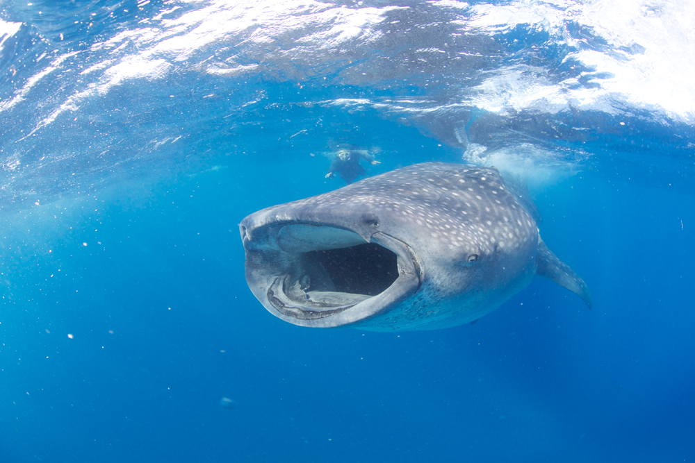 MEX_Isla-Mujeres-UW-Whale-Sharks-©13-Thomas-Baechtold-253.png