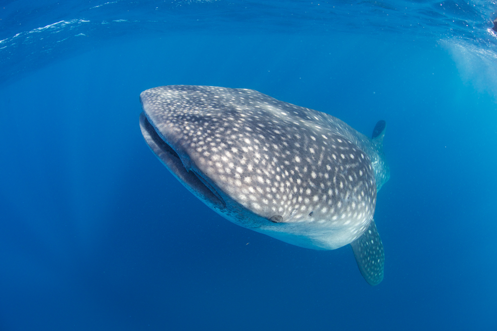 MEX_Isla-Mujeres-UW-Whale-Sharks-©13-Thomas-Baechtold-280.png