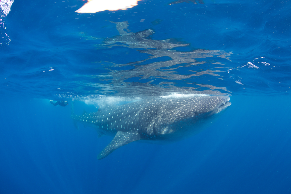 MEX_Isla-Mujeres-UW-Whale-Sharks-©13-Thomas-Baechtold-582.png