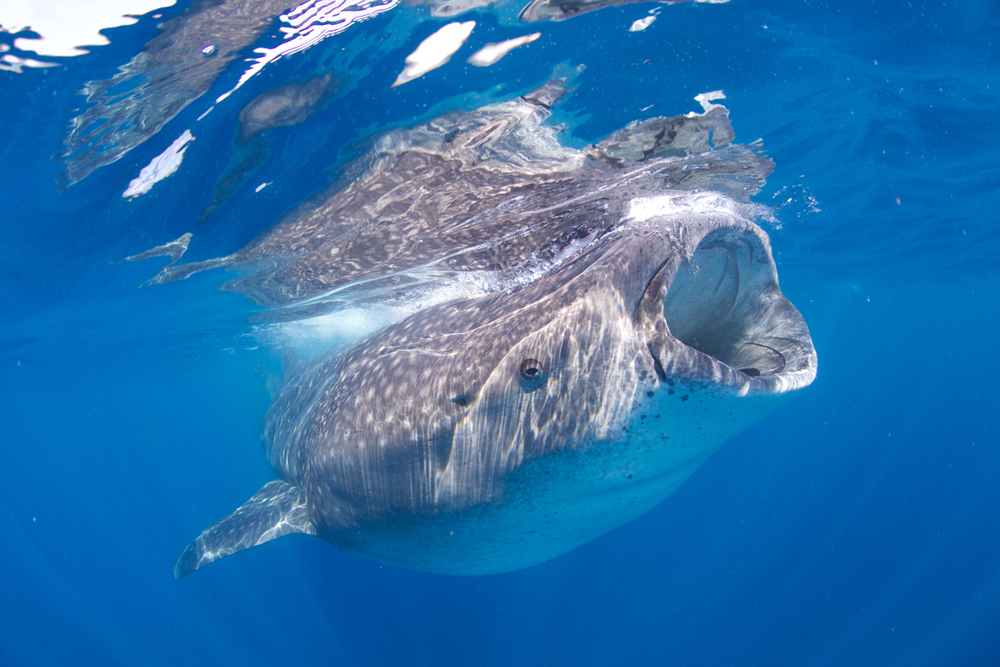 MEX_Isla-Mujeres-UW-Whale-Sharks-©13-Thomas-Baechtold-743.png