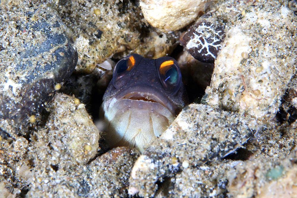 IDN_Ambon-Muck-diving-uw-©17-Thomas-Baechtold-898.jpg