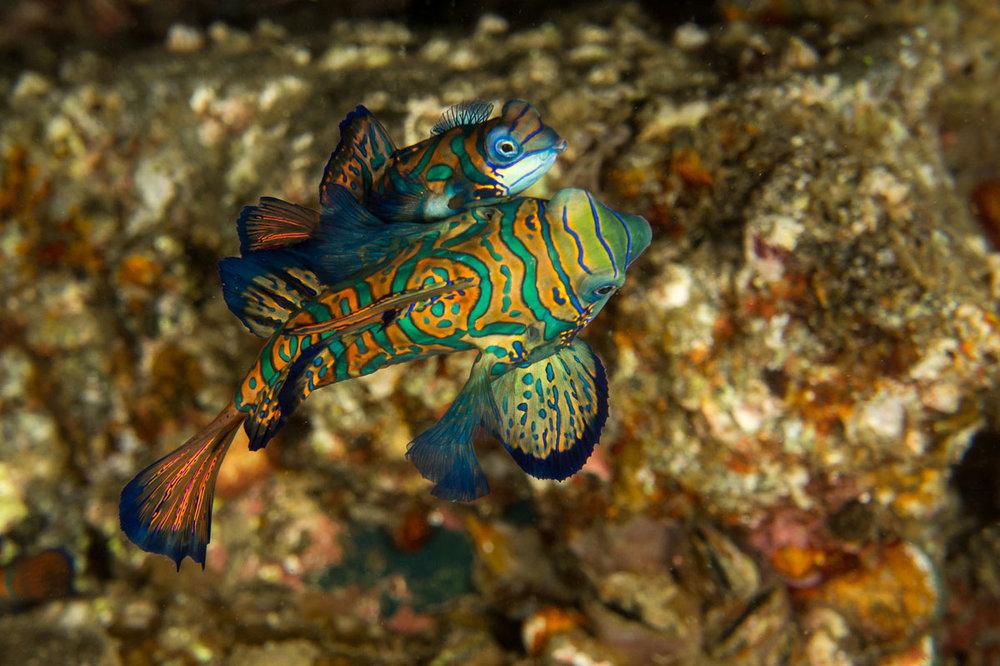 IDN_MY-Damai-UW-Banda-Mandarinfish-©-Andrina-Bindon-1.jpg