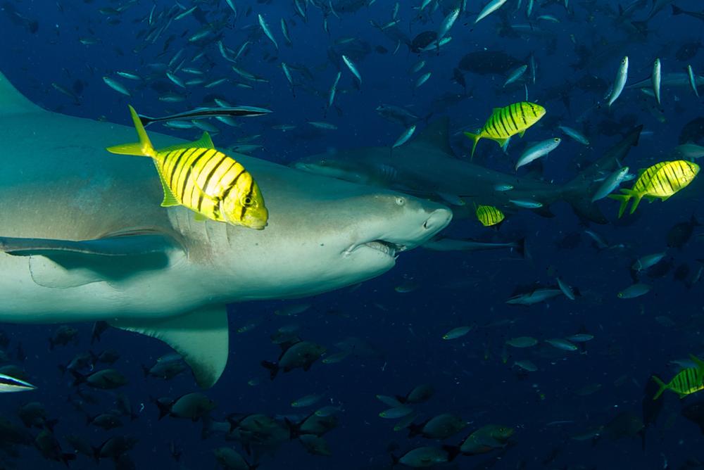 FJI_Beqa-Sharks-©11-Thomas-Baechtold-0342.png