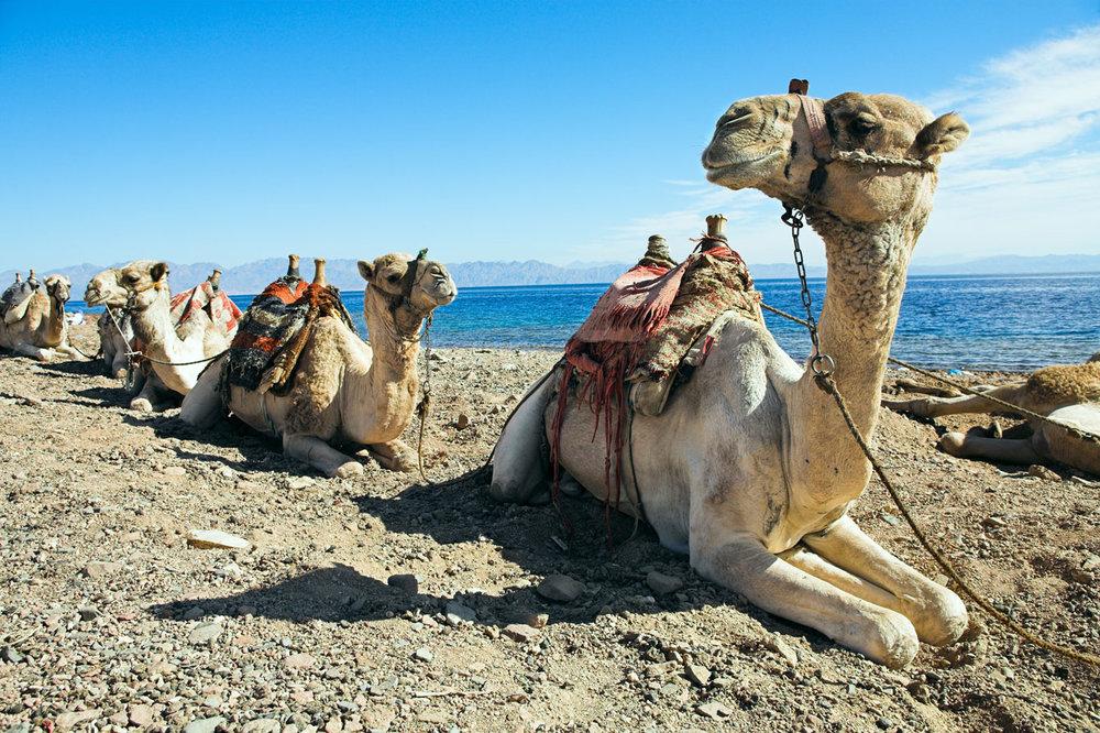 EGY_Nile-Camels-©-AdobeStock_20870020.jpg