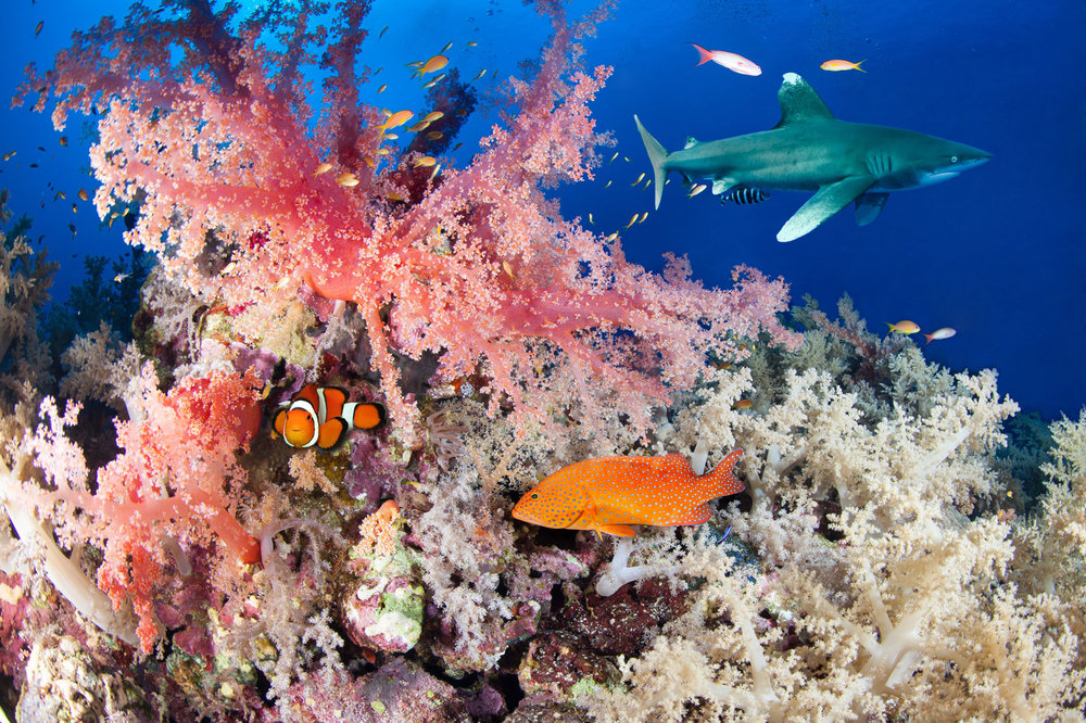 EGY_Red-Sea-UW-oceanic-and-Reef-©-AdobeStock_101903190.jpg