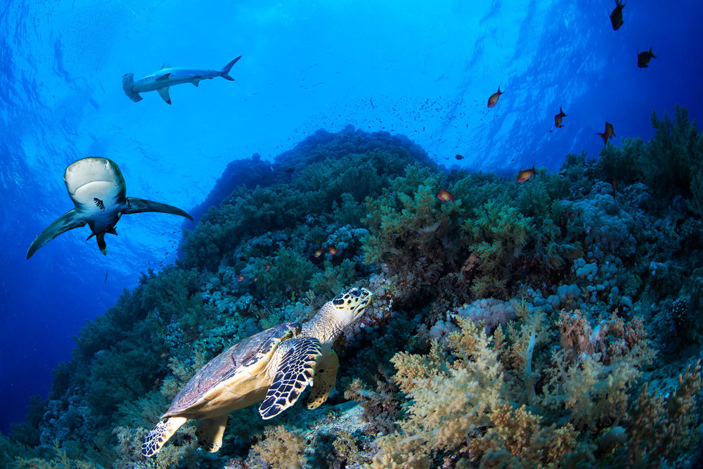 EGY_Red-Sea-UW-Reef-Turtle-Sharks-©-AdobeStock_101904638.jpg