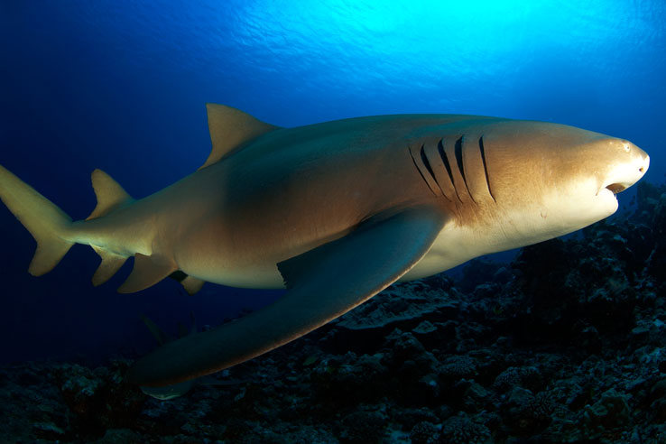 PYF_French-Polynesia-Lemon-Shark-©-Aaron-Wong.jpg